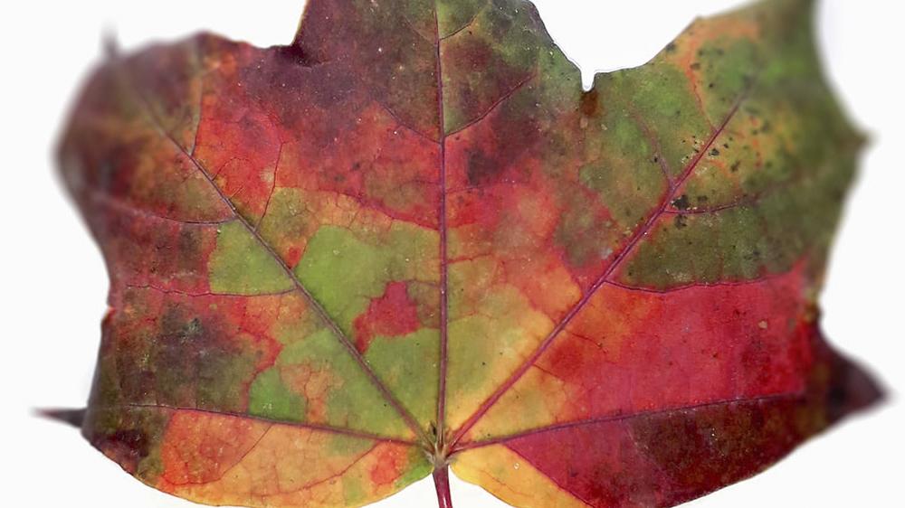 frunza multicolora cismigiu