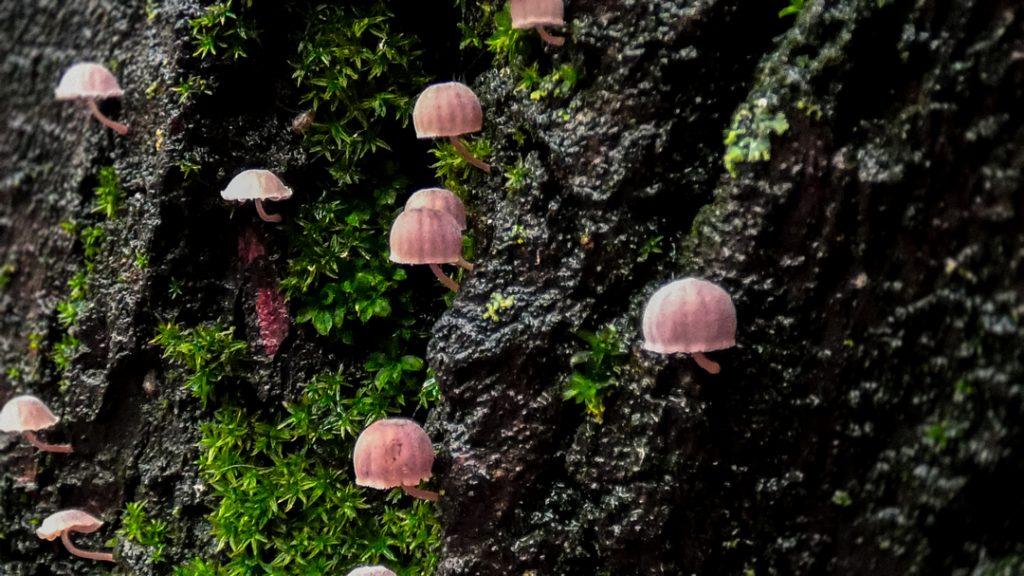 ciupercute cismigiu