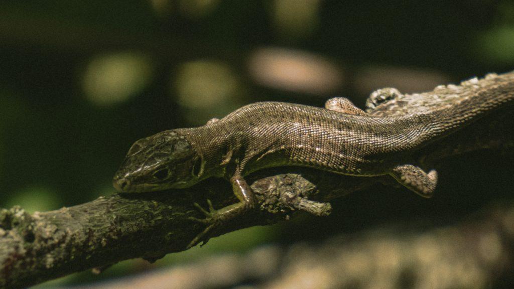 Guster Lacerta viridis juvenil