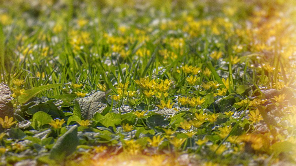 floricele galbene primavara cismigiu martie