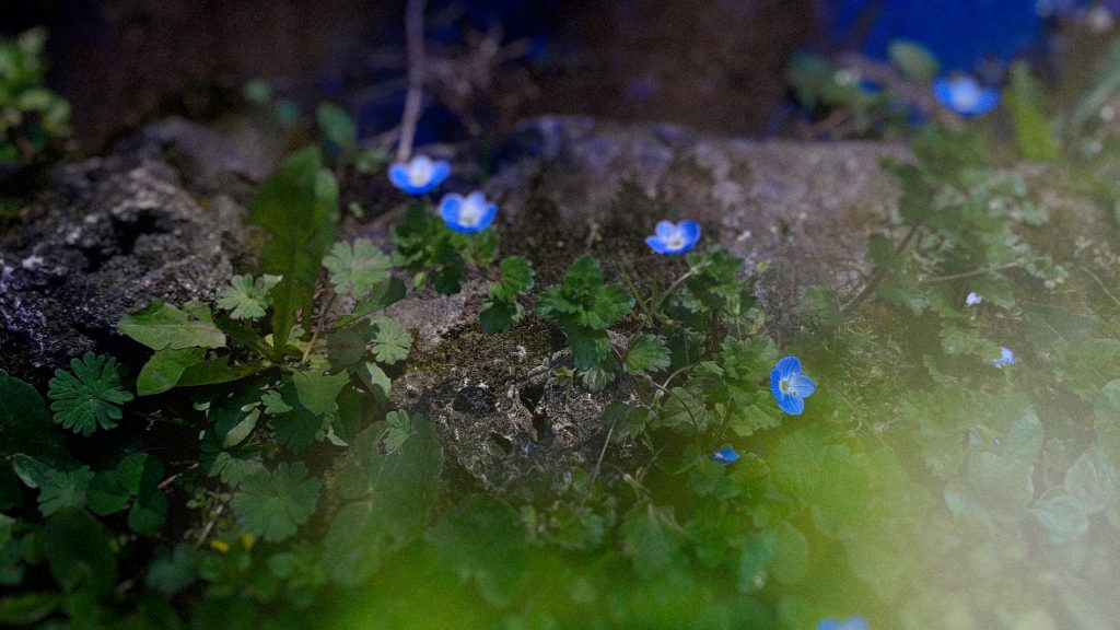 floricele albastre cismigiu martie