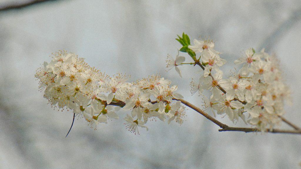 flori corcodus cismigiu primavara martie