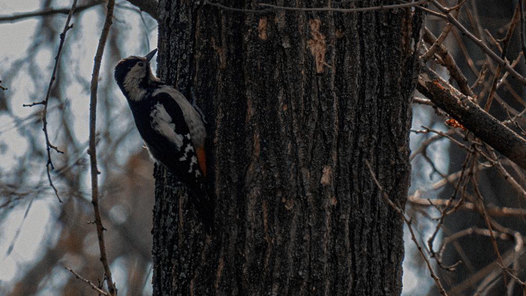 ciocanitoare de gradina dentrocopus syriacus cismigiu martie