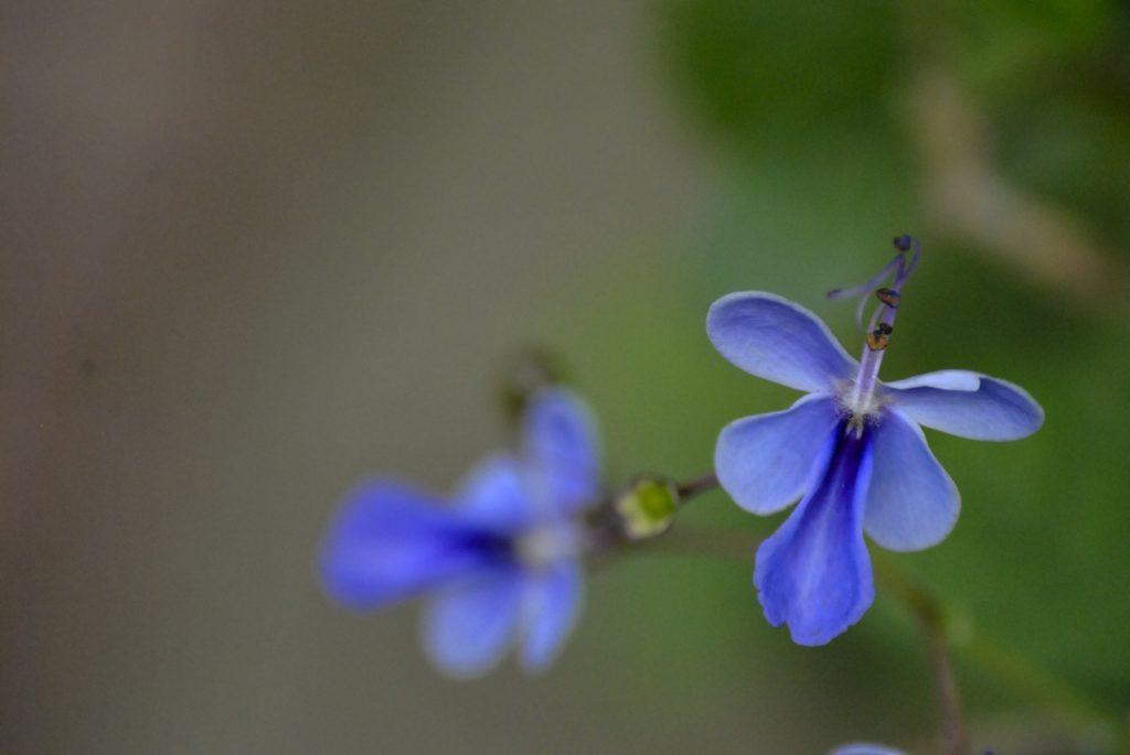 Plante sere gradina botanica floricica albastra