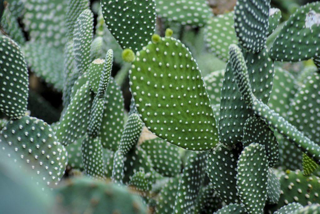Plante sere gradina botanica cactus opuntia