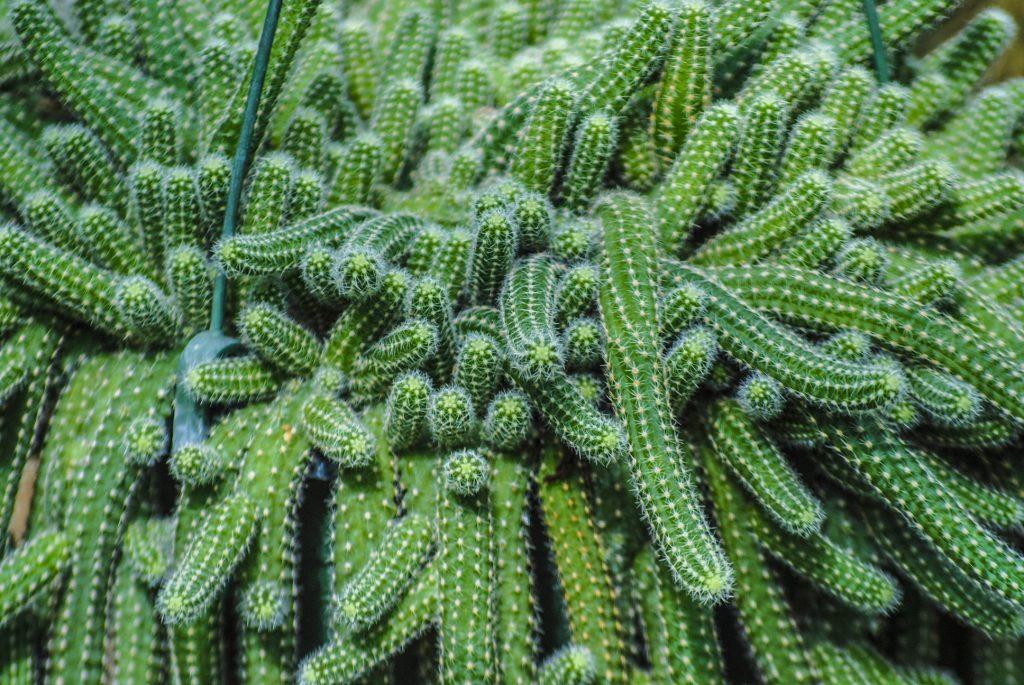 Plante sere gradina botanica cactus