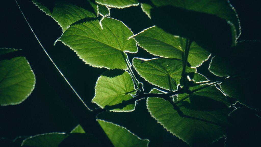 frunze de tei in lumina de vara gradina botanica bucuresti