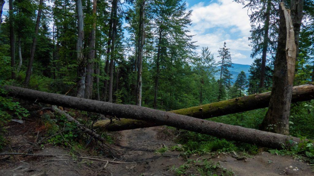 copaci cazuti busteni
