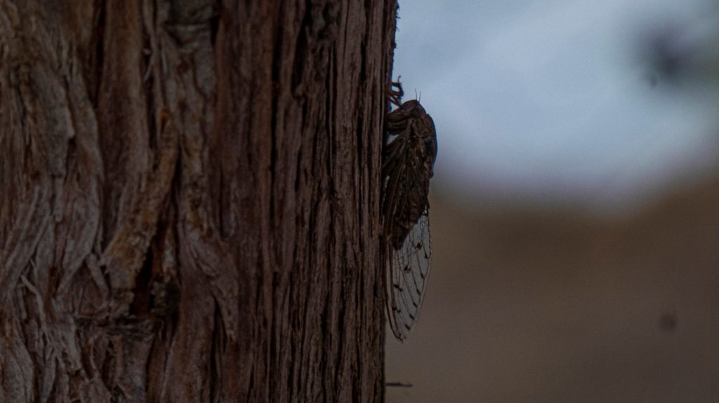 cicada creta